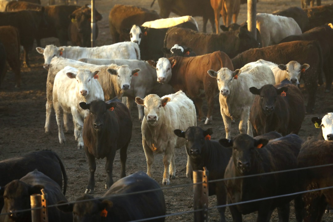 Cattle in the Harris Feed Company