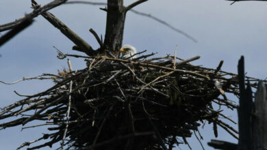 Photo of Bald eagle nests are seen on Cape Cod for the first time in 115 years