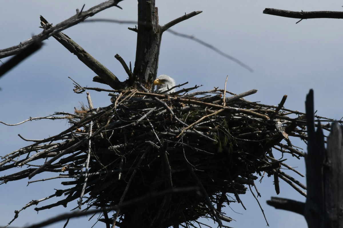 Bald eagle nests are seen on Cape Cod for the first time in 115 years